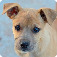 Adopt A Pet :: Brodie - Brattleboro, VT