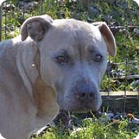 Pit Bull Terrier Dog for adoption in Ashtabula, Ohio - Cici