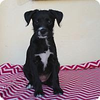 Adopt A Pet :: Clea - Los Angeles, CA