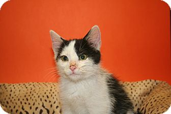 Domestic Mediumhair Kitten for adoption in SILVER SPRING, Maryland - BRYCE