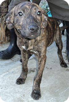 Labrador Retriever Mix Puppy for adoption in Studio City, California - Brandy