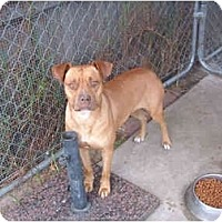 Boxer/American Pit Bull Terrier Mix Dog for adoption in West Los Angeles, California - Tutti
