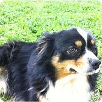 Adopt A Pet :: Chloe & Toto - Minis! - Sacramento, CA