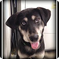 Adopt A Pet :: Koda - Indian Trail, NC