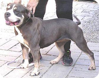 Ca rottweiler labrador retriever mix meet daisey a dog for adoption