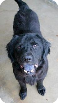 Newfoundland Dog for adoption in Memphis, Tennessee - Joseph