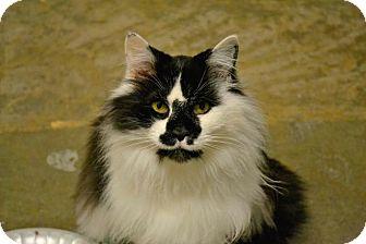 Domestic Longhair Cat for adoption in Saginaw, Michigan - Molisa