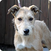 Adopt A Pet :: Belinda - Los Angeles, CA