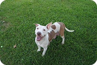 Pit Bull Terrier Mix Dog for adoption in Fort Worth, Texas - Shadow