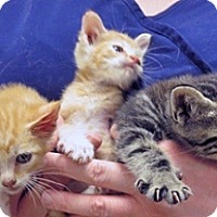 Domestic Shorthair Kitten for adoption in Wildomar, California - 312060