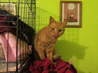 Domestic Shorthair Cat for adoption in Coos Bay, Oregon - Rambler