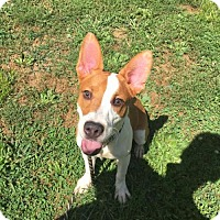 Adopt A Pet :: Remmy - East Stroudsburg, PA
