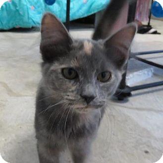 Domestic Shorthair Kitten for adoption in Asheville, North Carolina - Cami
