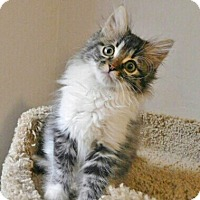 Adopt A Pet :: Mittens - Davis, CA