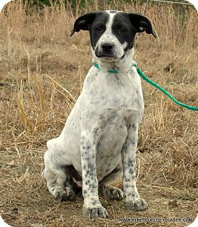 Blue Heeler/Great Pyrenees Mix Puppy for adoption in PRINCETON, Kentucky - Popcorn