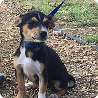 Adopt A Pet :: Olesia - Mesa, AZ