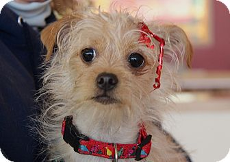 Wirehaired Fox Terrier/Norfolk Terrier Mix Puppy for adoption in Beverly Hills, California - SHERRI