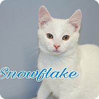 Adopt A Pet :: Snowflake - Livonia, MI