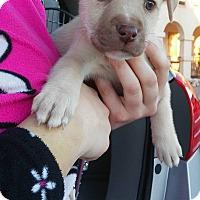 Adopt A Pet :: Quinn - Denver, CO