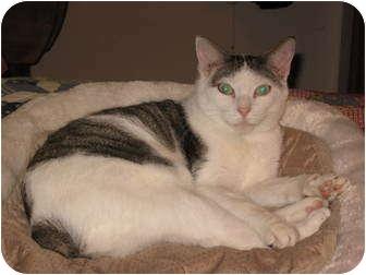 Japanese Bobtail Cat for adoption in Fairhope, Alabama - Bobby