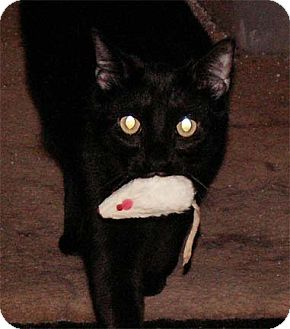 Domestic Shorthair Cat for adoption in Milford, Ohio - Squirrel