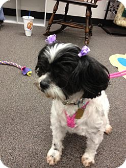 Shih Tzu Mix Dog for adoption in Sheridan, Oregon - Joanne