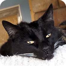 Domestic Shorthair Cat for adoption in Phoenix, Arizona - Clayton