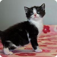 Adopt A Pet :: Figaro $125 - Seneca, SC