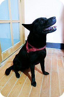 Labrador Retriever Mix Dog for adoption in Castro Valley, California - Shoey