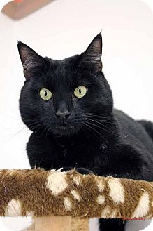 Domestic Shorthair Cat for adoption in Paris, Maine - Sprite