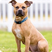 Pit Bull Terrier Mix Dog for adoption in Staten Island, New York - Sage