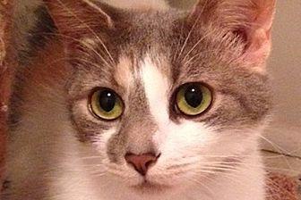 Domestic Shorthair Cat for adoption in Durham, North Carolina - Juno