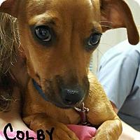 Adopt A Pet :: Colby - Uxbridge, MA