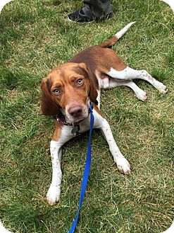 Beagle Dog for adoption in Sharon Center, Ohio - Squeakers