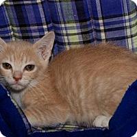 Domestic Shorthair Cat for adoption in BROOKSVILLE, Florida - Leona