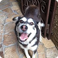 Adopt A Pet :: Catrina - San Diego, CA