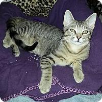 Domestic Shorthair Kitten for adoption in Rochester Hills, Michigan - Mini