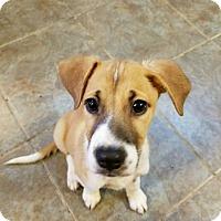 Collie Mix Puppy for adoption in joliet, Illinois - BRANDON