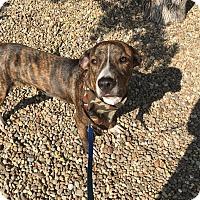 Boxer/Hound (Unknown Type) Mix Dog for adoption in Avon, Ohio - Abe