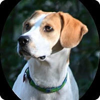 Pointer/Hound (Unknown Type) Mix Dog for adoption in North East, Florida - Gracie