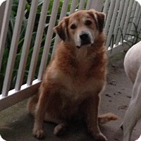 Golden Retriever/Newfoundland Mix Dog for adoption in Hainesville, Illinois - Glory