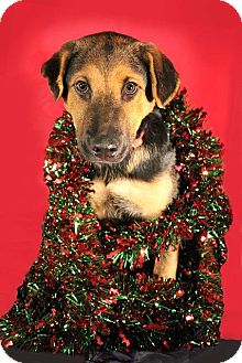 Chow Chow/German Shepherd Dog Mix Puppy for adoption in Quitman, Texas - DOC