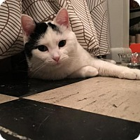 Domestic Mediumhair Cat for adoption in Minneapolis, Minnesota - Melody *Waiting too Long*