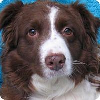 Adopt A Pet :: Tess Goldie - Cuba, NY