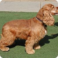 Adopt A Pet :: Mushu - Campbell, CA