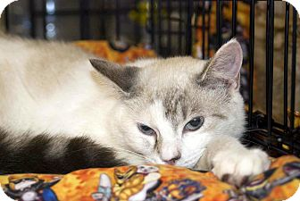 Domestic Shorthair Cat for adoption in New Port Richey, Florida - Stormy
