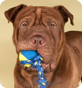 Staffordshire bull terrier cross with shar pei dog breeds picture - Bordeaux mixture ...