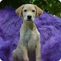 Adopt A Pet :: Harlow - New Boston, NH