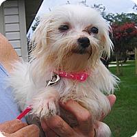 Adopt A Pet :: Sugar - Orange Park, FL