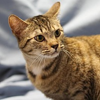 Domestic Shorthair Cat for adoption in Winston-Salem, North Carolina - Kadee
